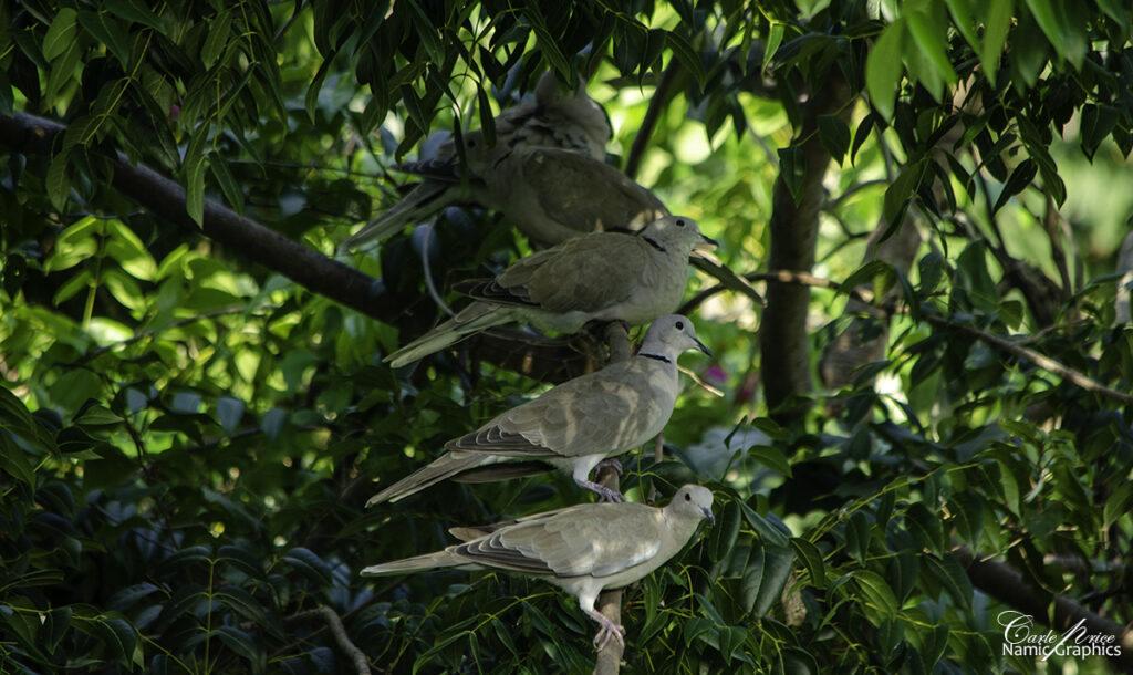 Birds Of Barbados