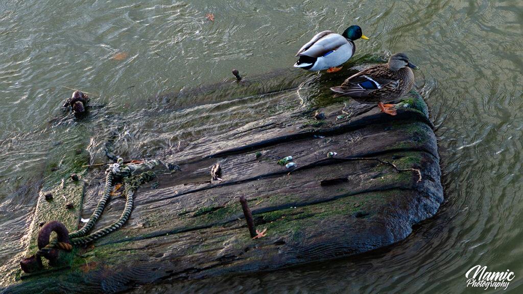 Ducks New York
