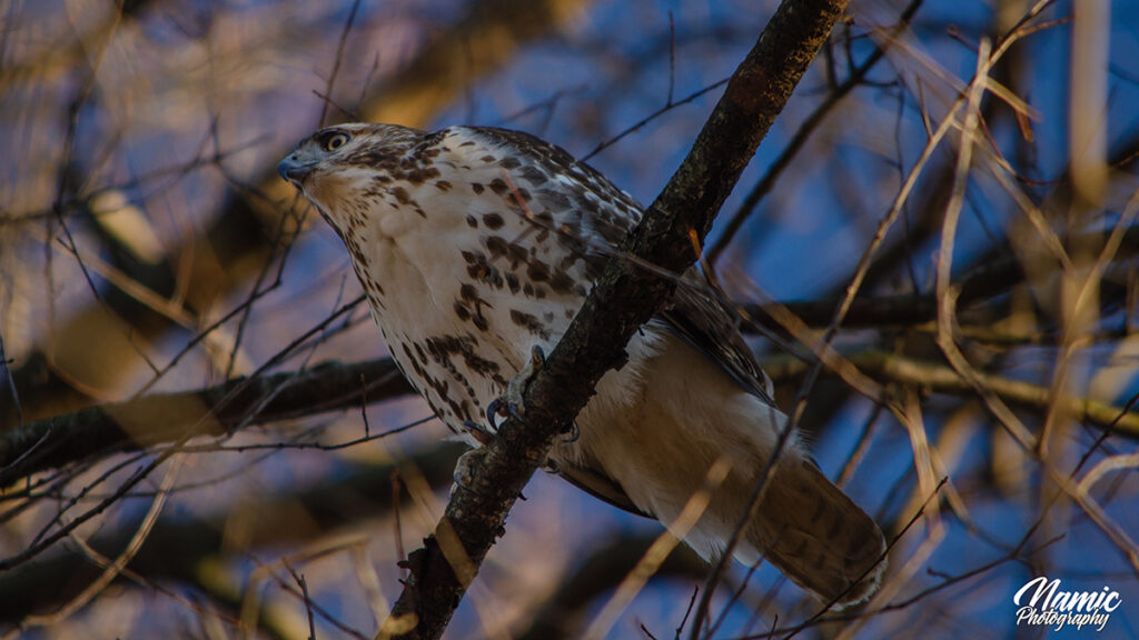 Red Tailed Hawk Birds Of New York