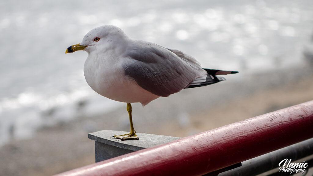 Ring Billed Gull Birds Of New York