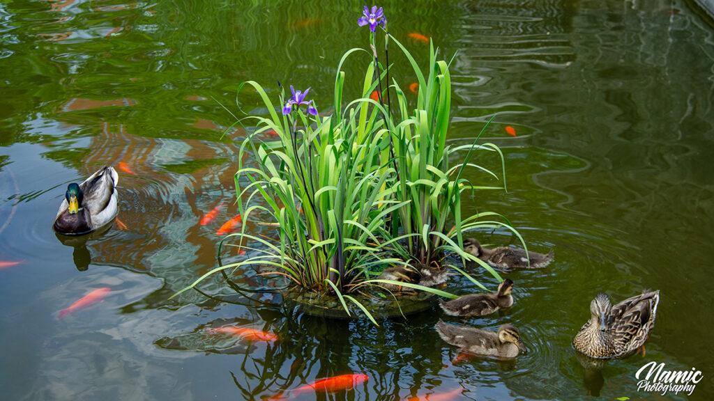 Lily Pond New York
