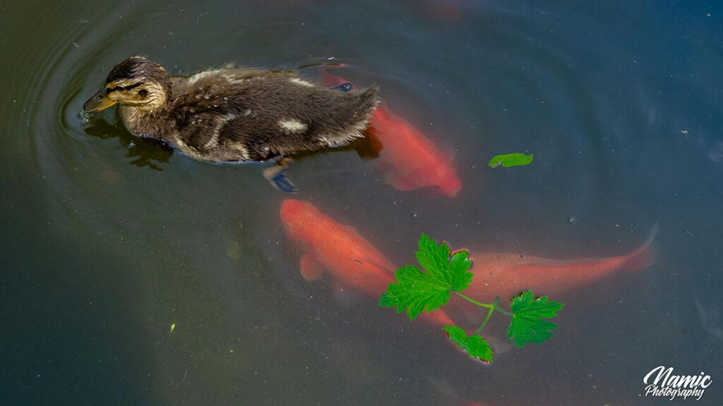 Battery Park Duck Pond