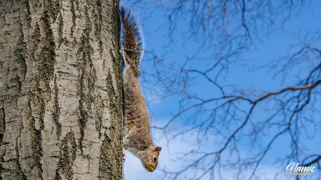 Eastern Grey Squirrels