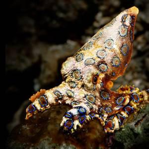 Blue Ring Octopus (Hapalochlaena lunulata)