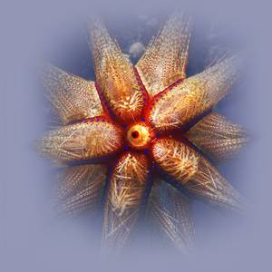 Glowing Fire Radiant Sea Urchin (Astropyga radiata)