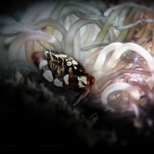 In A Loop Harlequin Swimming Crab (Lissocaricinus laevis)