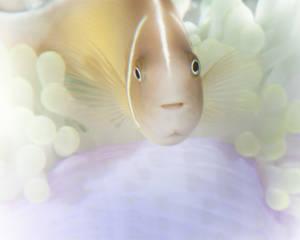 Pastel Pink Skunk Clownfish (Amphiprion sandaracinos)