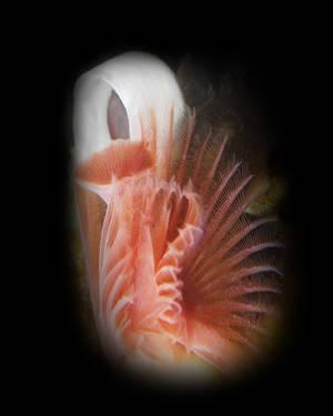 Home Tube Worm (Serpula columbiana)