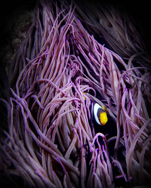 AF Lavender Field Adult Clark's Anemone Fish (Amphiprion clarkii) on Long Tentacle Anemone (Macrodactyla doreensis)