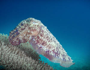 Coral Impersonator Broadclub Cuttlefish (Sepia latimanus)
