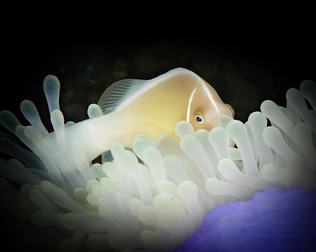 ShytPink Skunk Anemonefish(Amphiprion peridaeraion)in Magnificent Anemone(Heteratis magnifica)
