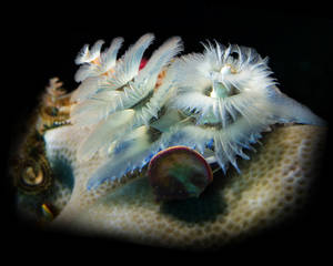 Baby Blue Christmas Tree Worm (polychaeta Spirobranchus)