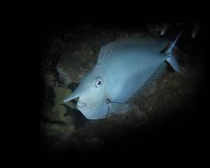 I Cannot Tell a Lie. Oops! Whitemargin Unicornfish (Naso annulatus)