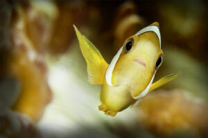 Clark's Juvenile Anemone Fish (Ampriprion clarkii)
