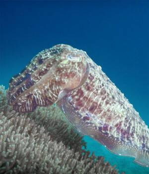 Bookmark-Coral Impersonator