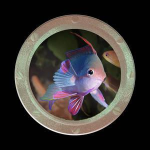 Coaster-Anthias Male #1
