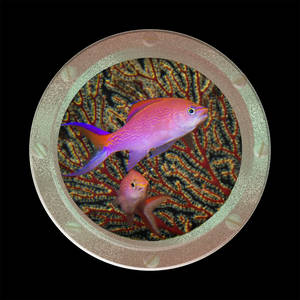 Coaster-Dappled Siren