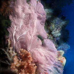 Confection Sea Fan (Subergorgia mollis)