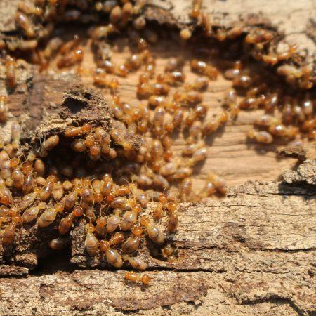 subterrean_termite_control