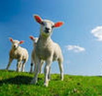 stock-photo-curious-lambs-looking-at-the-camera-in-spring-12540832