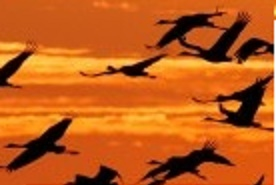 Cranes (Grus grus) flying at sunset over the Oderbruch near Reitwein,Germany, 19 October 2014. Thousands of migratory birds rest on the fields and meadows of the Oderbruch in eastern Brandenburg as they make their way south for the winter. Photo: Patrick Pleul/ZB