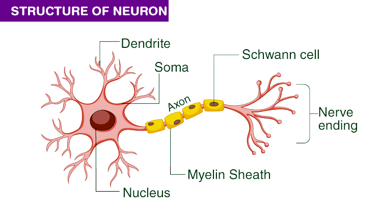 STRUCTURE-OF-NEURON
