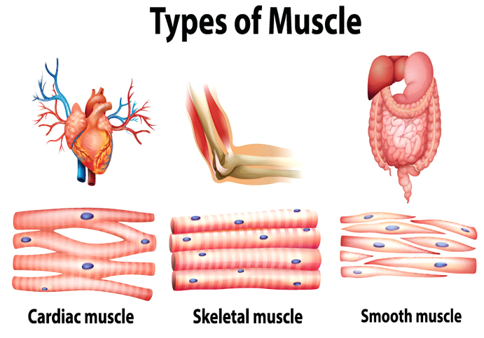 Muscular-System