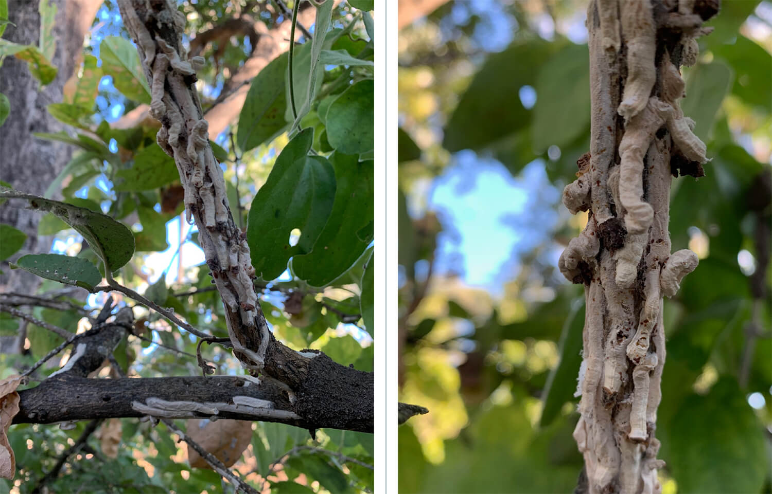 2 images of Bagworms nesting in a tree near PJ's tent