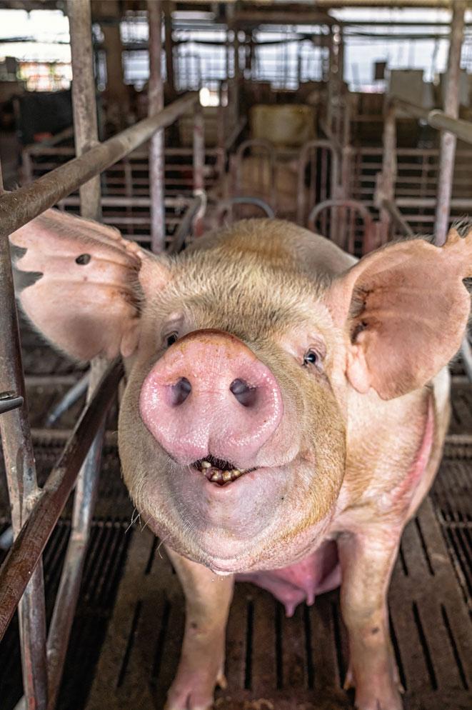 factory farm pig