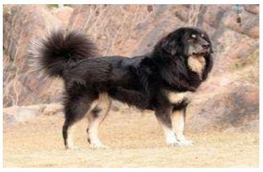 Top 10 Native Indian Dog Breeds #8: Gaddi Kutta/ Himalayan Sheepdog/Indian Leopard Hound