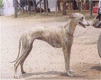 Top 10 Native Indian Dog Breeds #5: Rampur Greyhound/North Indian Greyhound