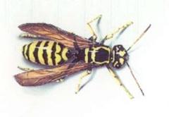 Bee-yellowjacket