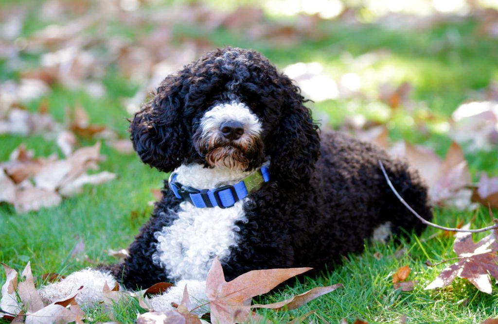 Portuguese Water Dog Miss Millie