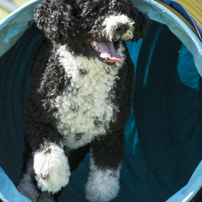 Why I Chose a Portuguese Water Dog