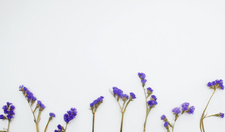 chicory root flowers