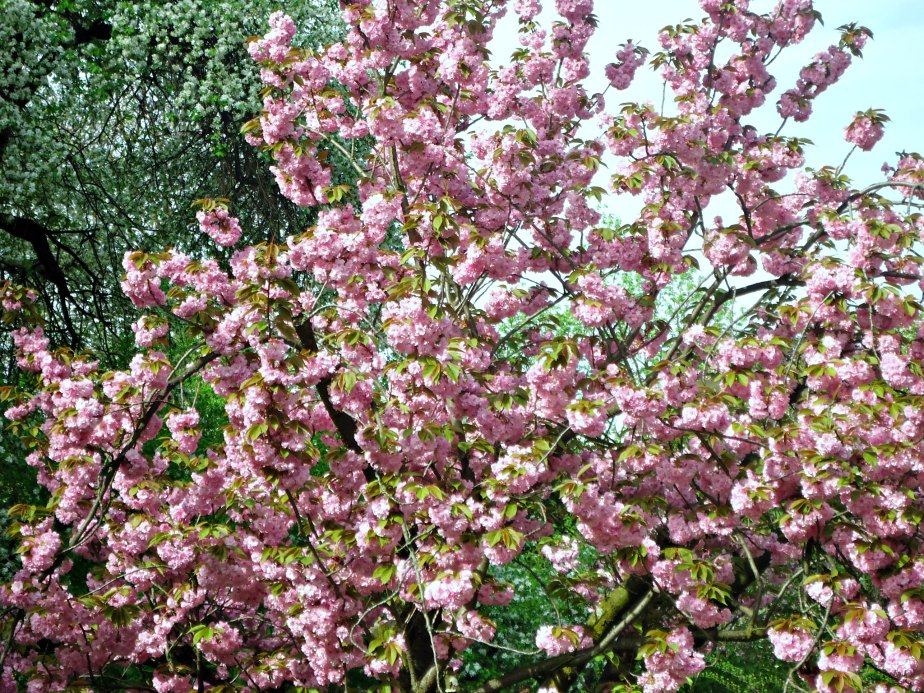 Pink Blossoms in Zagreb