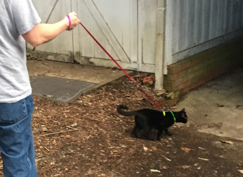 how to walk your cat on a leash