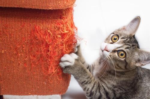 Cat Shredding Furniture