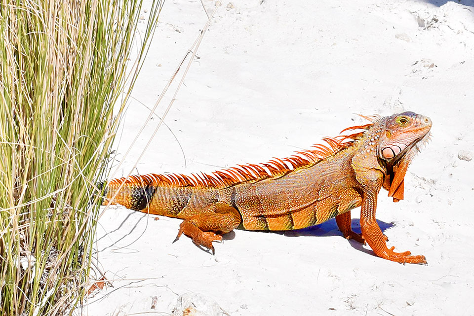 Amara Cay Resort - The Keys - Iguana