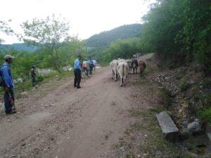 Recuperan vacas robadas
