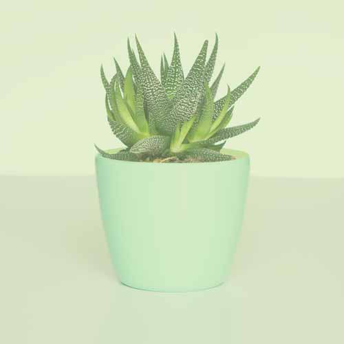 Rejuvinating aloe plant for skin care