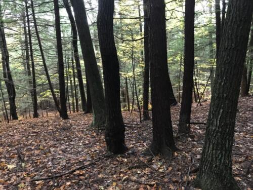 Woods (Medium)