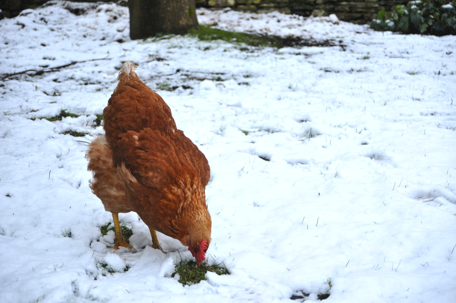 hen in snow