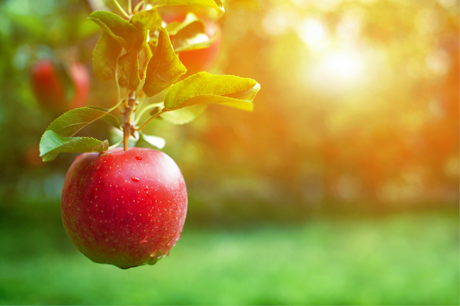 Healthy Ingredient Highlight: Apple