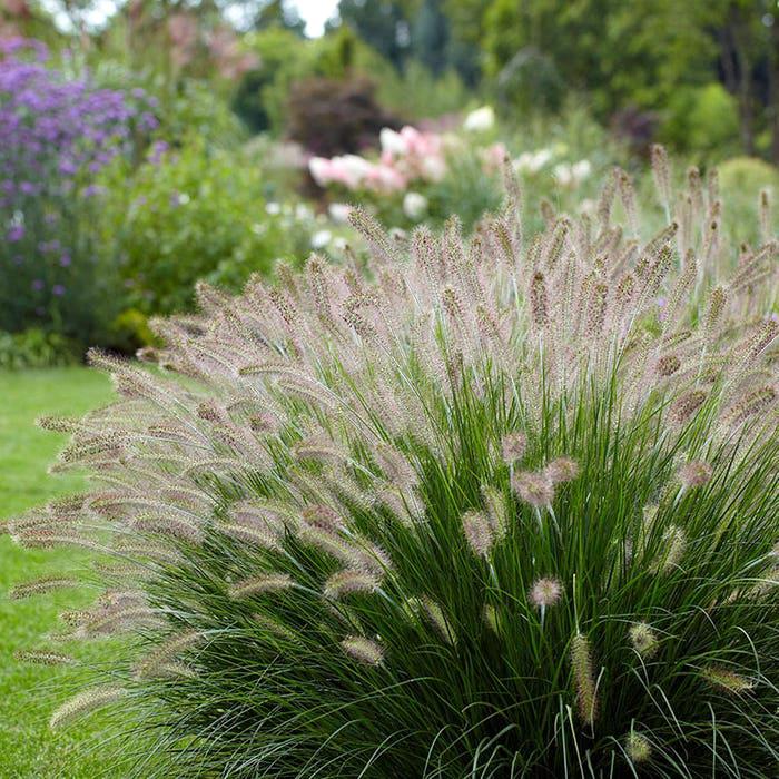 Hameln Fountain Grass