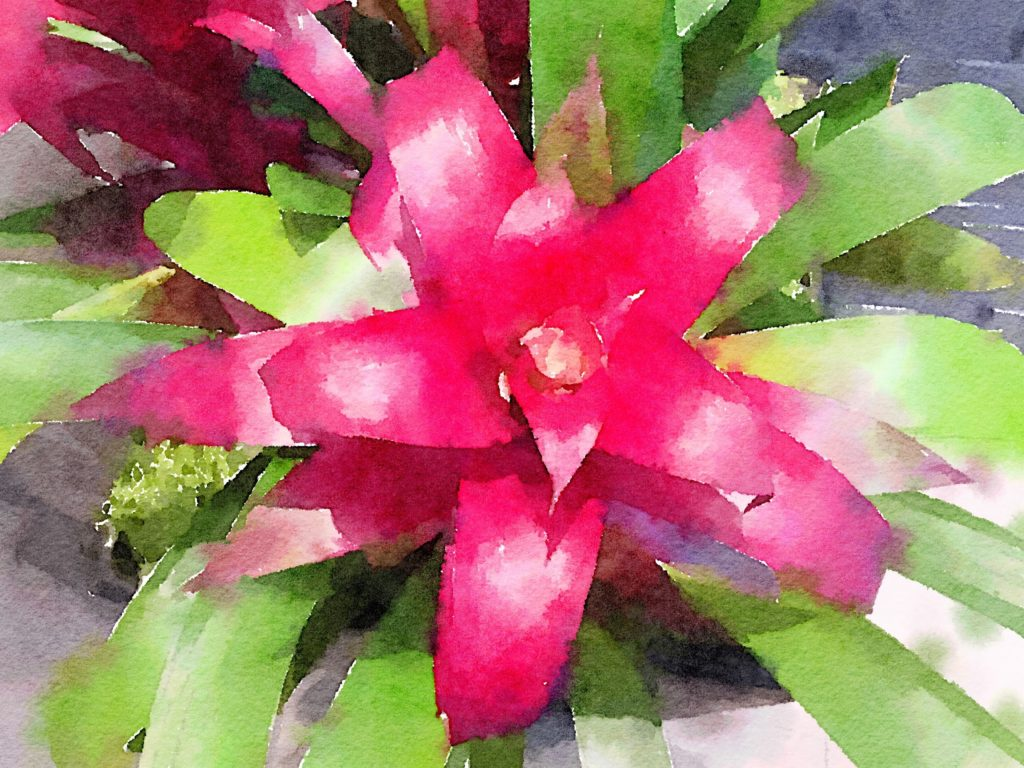 Large Pink Bromeliad in Waterlogue