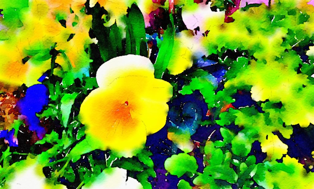 Big Yellow Pansy