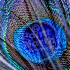 Point North Photography-PEACOCK FEATHER