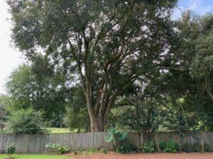 New Leaf Arboriculture - Pensacola - 2019 - After Crown Raising 04
