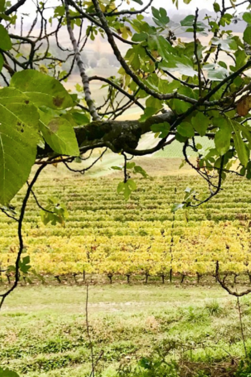 Vineyard in the south of france